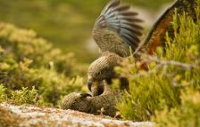 Two juvenile kea tussle playing on the ground. Credit Raoul Schwing