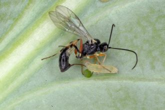 A parasitic wasp (Diadegma) attacking its host caterpillar