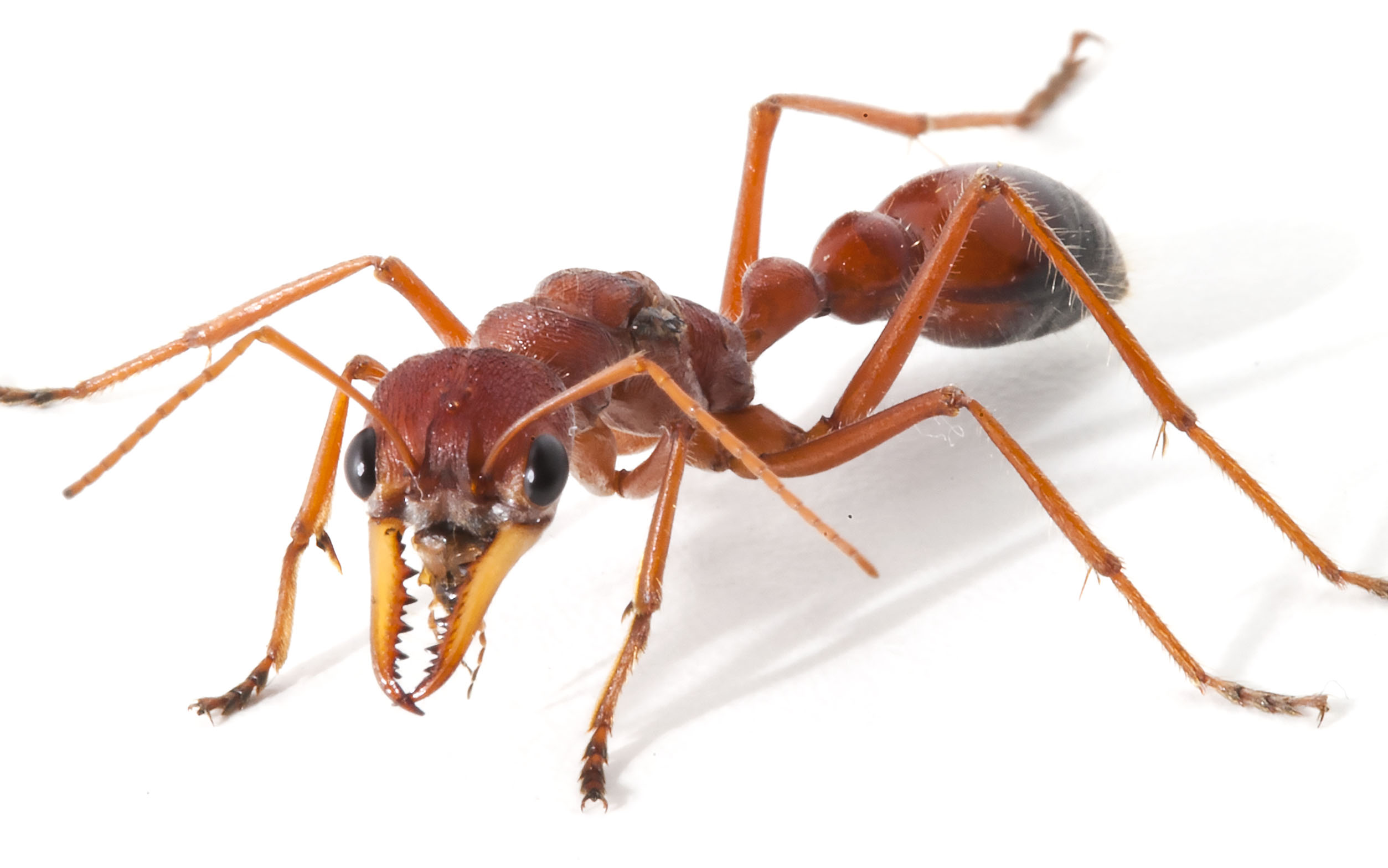 Giant red bull ant - Myrmecia gulosa. Credit: Dr Samuel Robinson & Dr Eivind Undheim, The University of Queensland.