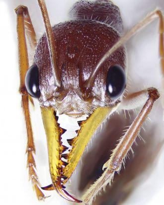 Giant red bull ant - Myrmecia gulosa.