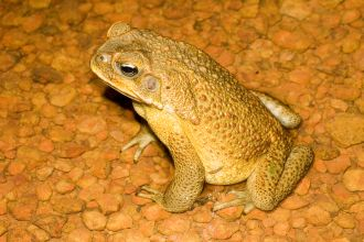 Biological invasions impose novel evolutionary pressures. Individuals at an invasion front may allocate most of their resources to dispersing rather than reproducing. In the invasive cane toad in Australia, Professor Rick Shine and Dr Chris Friesen report, invasion-front males have smaller testes (testicles) than do males in the range-core.