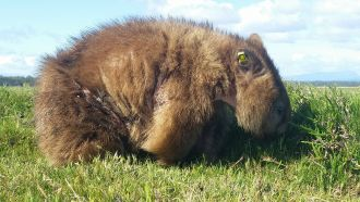 New research from the University of Tasmania is offering hope that the deadly mange disease affecting Tasmanian wombats could eventually be brought under control for wild individuals and populations.