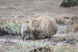 Wombat pair