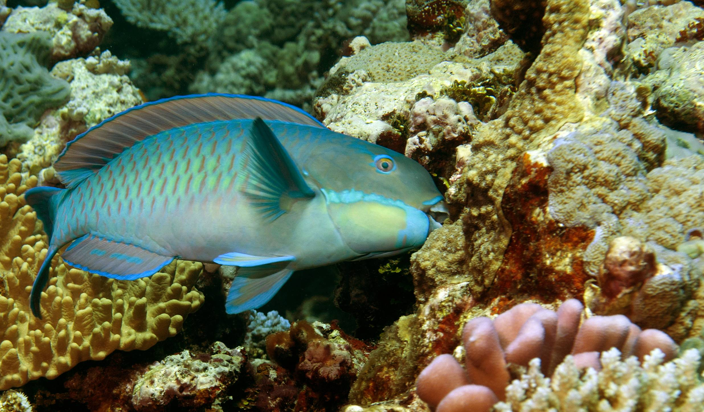 Parrotfish numbers rise as reef quality decreases. Credit: Kendall Clements