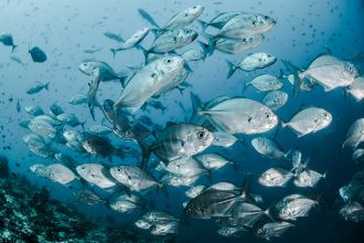 A research review has found fish species around the world are at greater risk from climate change than previously realised. German scientists analysed published research on nearly 700 marine and freshwater fish species to understand which stages of the lifecycle were most impacted by increased water temperatures. Their findings suggest spawning fish and embryos are more vulnerable than adult fish, and a significant proportion of the fish species evaluated will not be able to exist in their current habitat if global warming continues unchecked. Their research challenges the previous risk estimates which were based on information from adult fish alone.