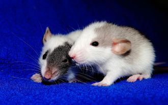 Research on rats suggest that motherhood changes a decision-making part of the brain to prioritise offspring over other competing desires. The ability to make decisions requires a special part of the brain that filters and represses multiple streams of information, and the team found that when this area of the brain was deactivated in drug addicted mother rats- they chose a room full of cocaine over a room with their babies in it. When they reactivated the area, the rats would more often choose the room with the pups. The rats with the area deactivated also showed decreased maternal behaviours towards her pups, the team adds. The authors believe their research is indicative of a new meaning for a 'mummy brain'.