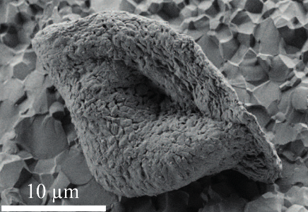 An electron microscope image of a microfossil form Strelley Pool. Credit: Julien Alleon, GPL