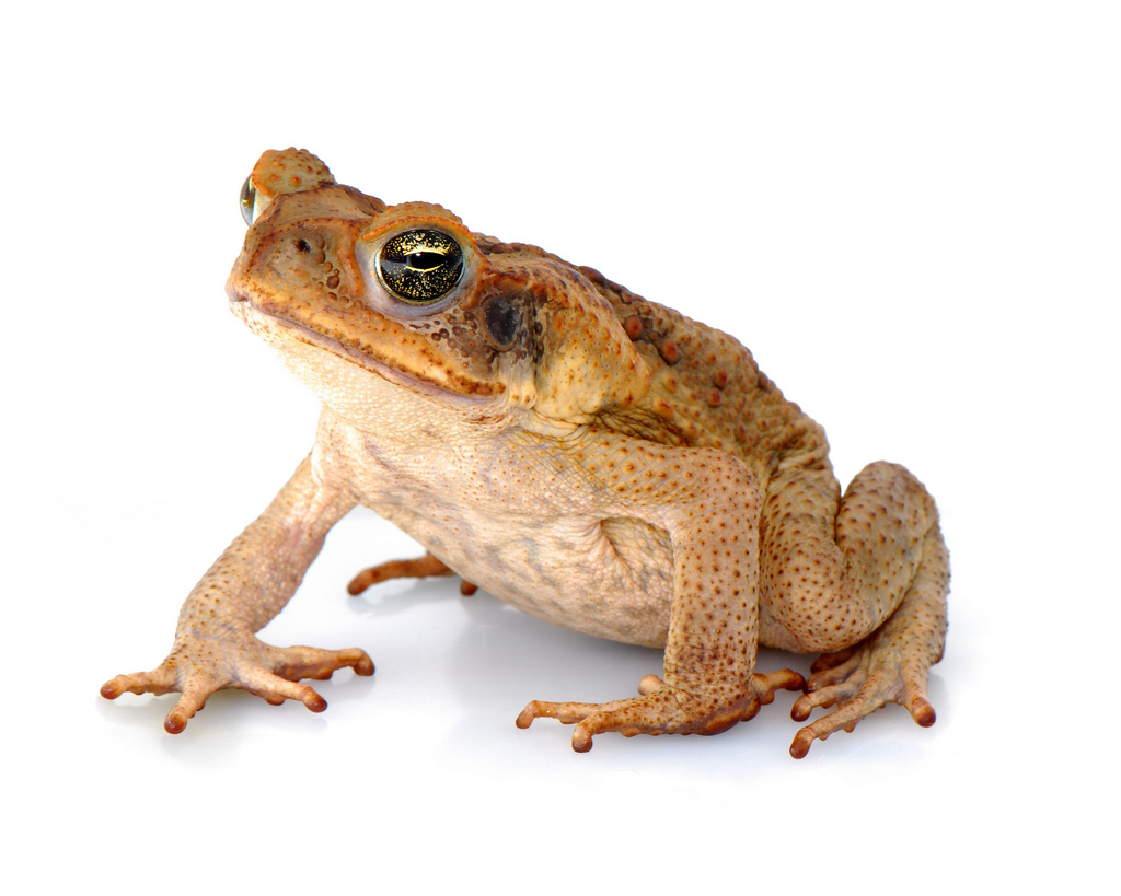 Listing indigenous citizen scientists as co-authors on a cane toad paper proved challenging.  Credit: Wikimedia Commons