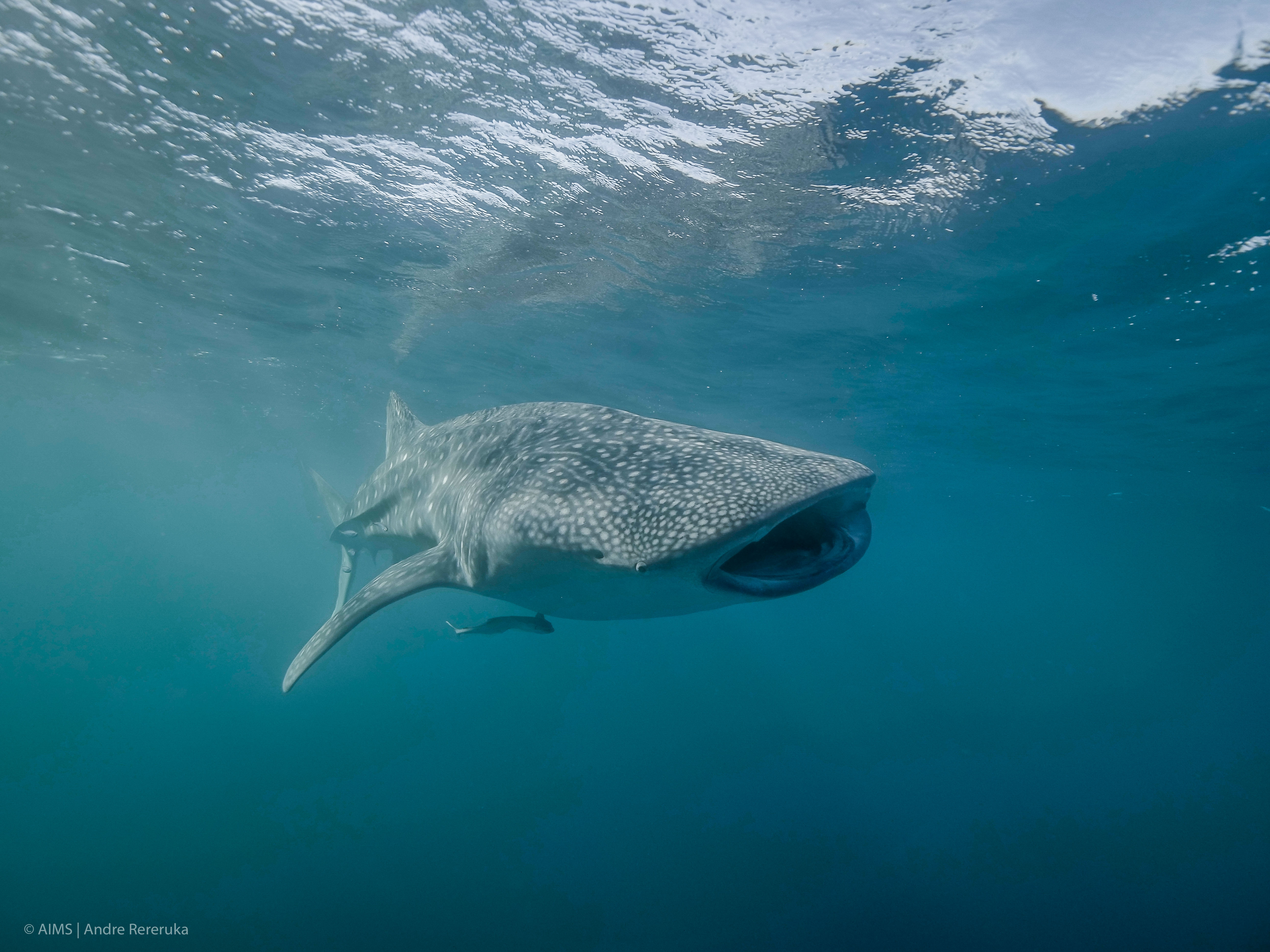 Andre Rerekura, Copyright AIMS / A whale shark at Ningaloo Reef, Western Australia