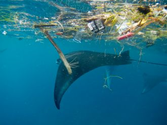 Manta with plastic in Indonesia
