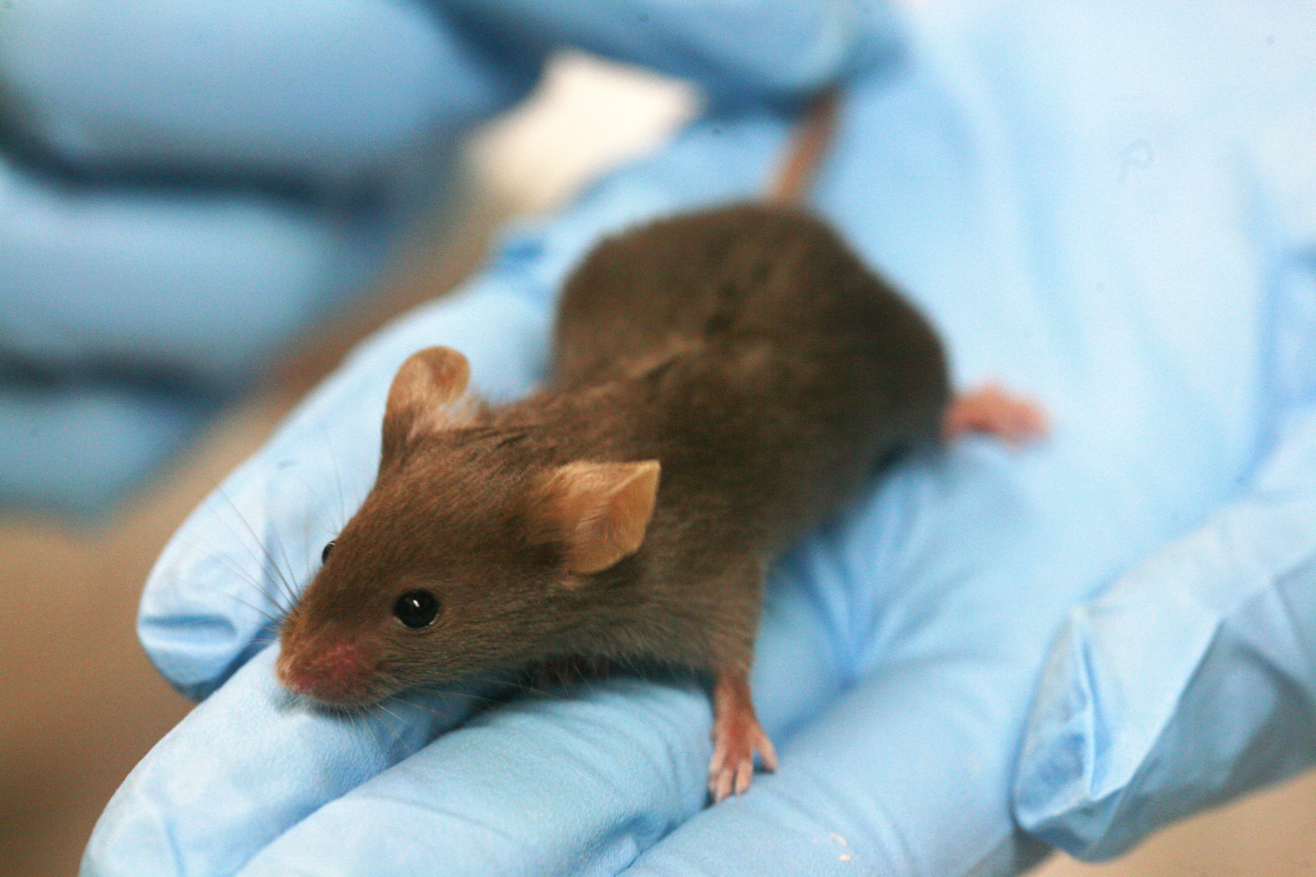 Lab_mouse_Credit-Rama Wikimedia Commons
