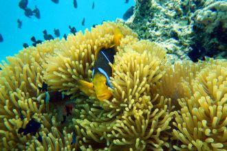 Orange fin anemonefish 1
