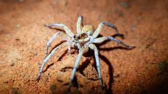 Wolf spider, Simpson Desert south-west Queensland.