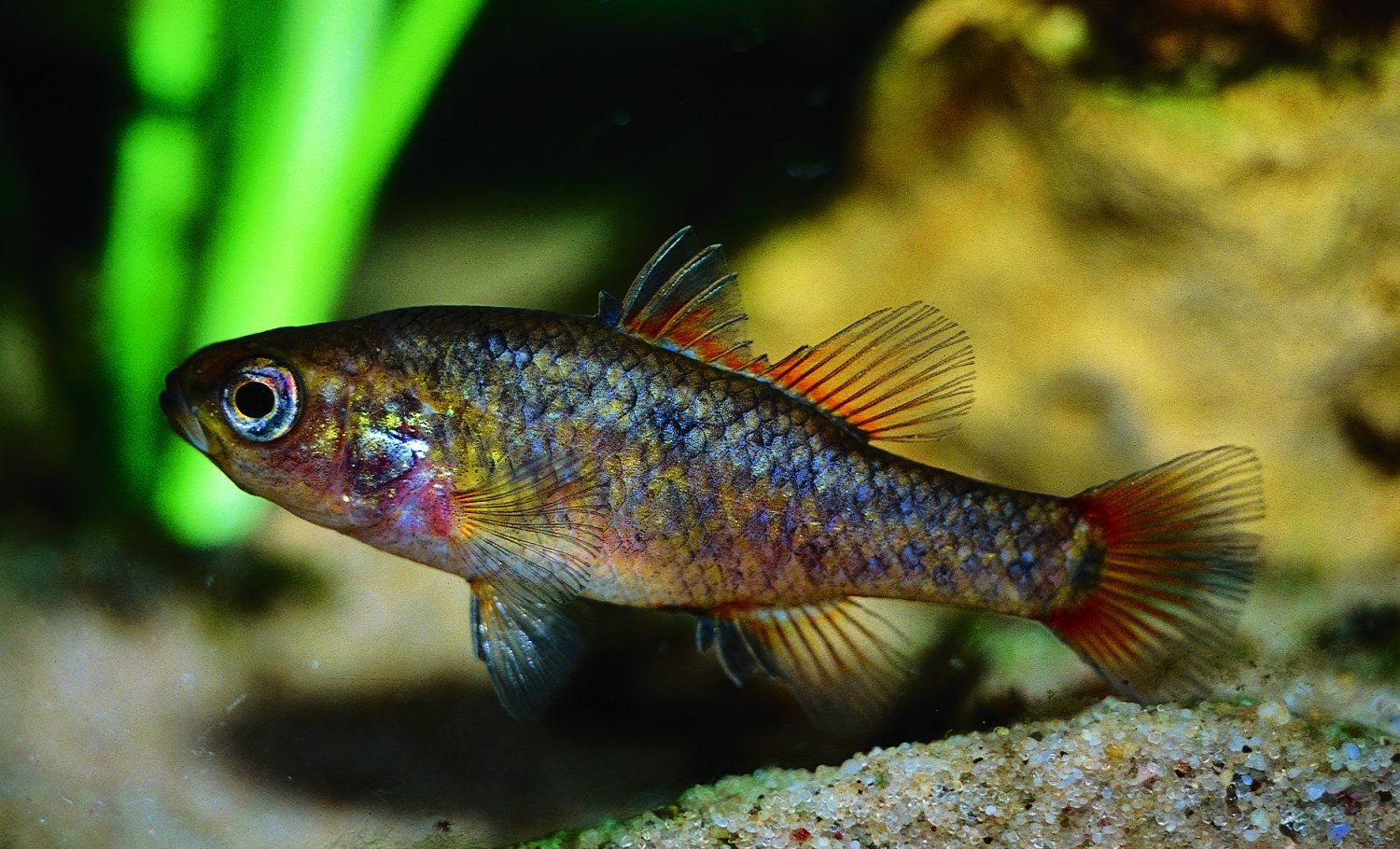 A male southern pygmy perch (Nannoperca australis). Photo: Michael Hammer
