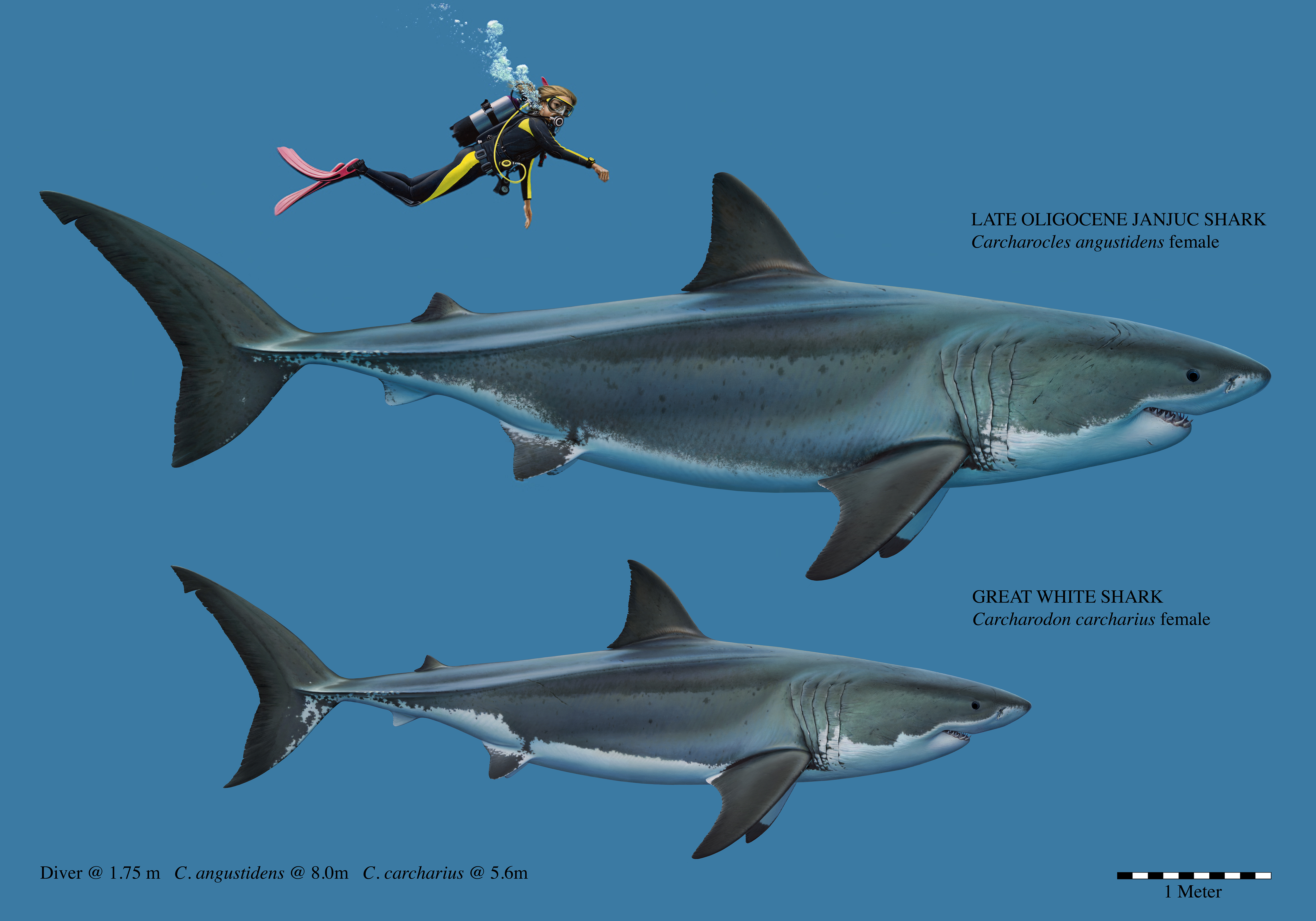 Size comparison of the Carcharocles angustidens and a Great White Shark. Source: Museums Victoria