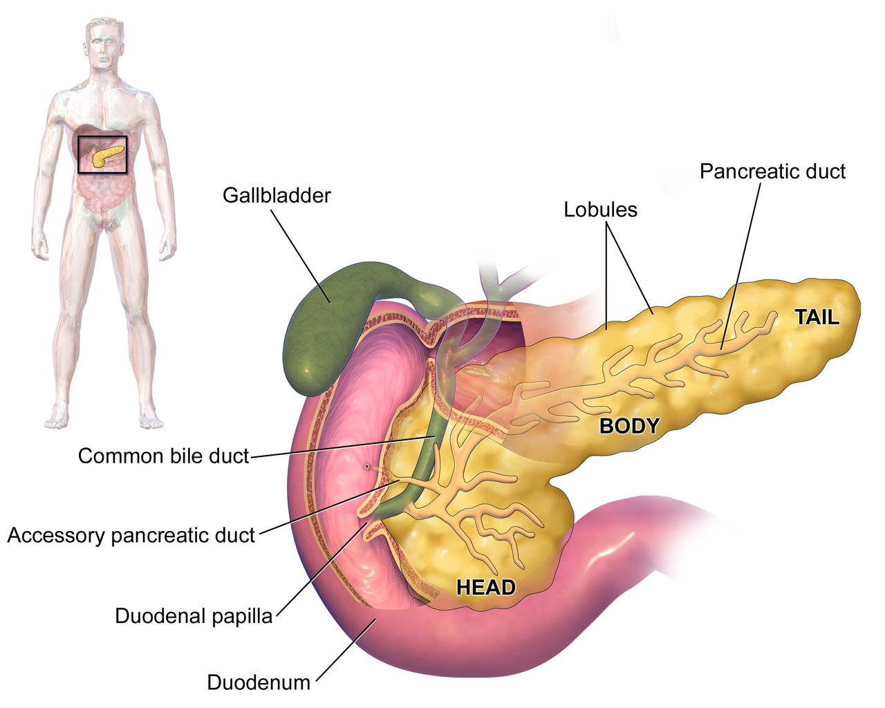Blausen_0699_PancreasAnatomy2 By Bruce Blaus Own work CC BY 3_0