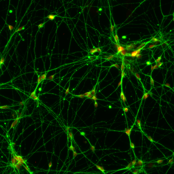 Motor neurons in the laboratory