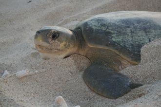 An adult female flatback turtle