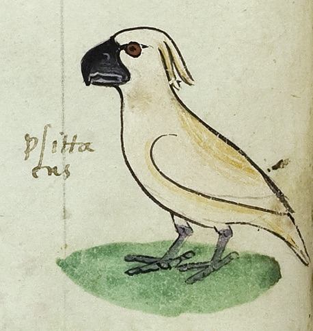 One of the four images of the cockatoo gifted to Frederick II by the 'Sultan of Babylon'. Codex Ms. Pal. Lat 1071, folio 18v (© [2018] Biblioteca Apostolica Vaticana). For a high resolution colour image see article published in Parergon 35/1 (June 2018): 35-60.