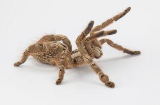 The Togo starburst tarantula