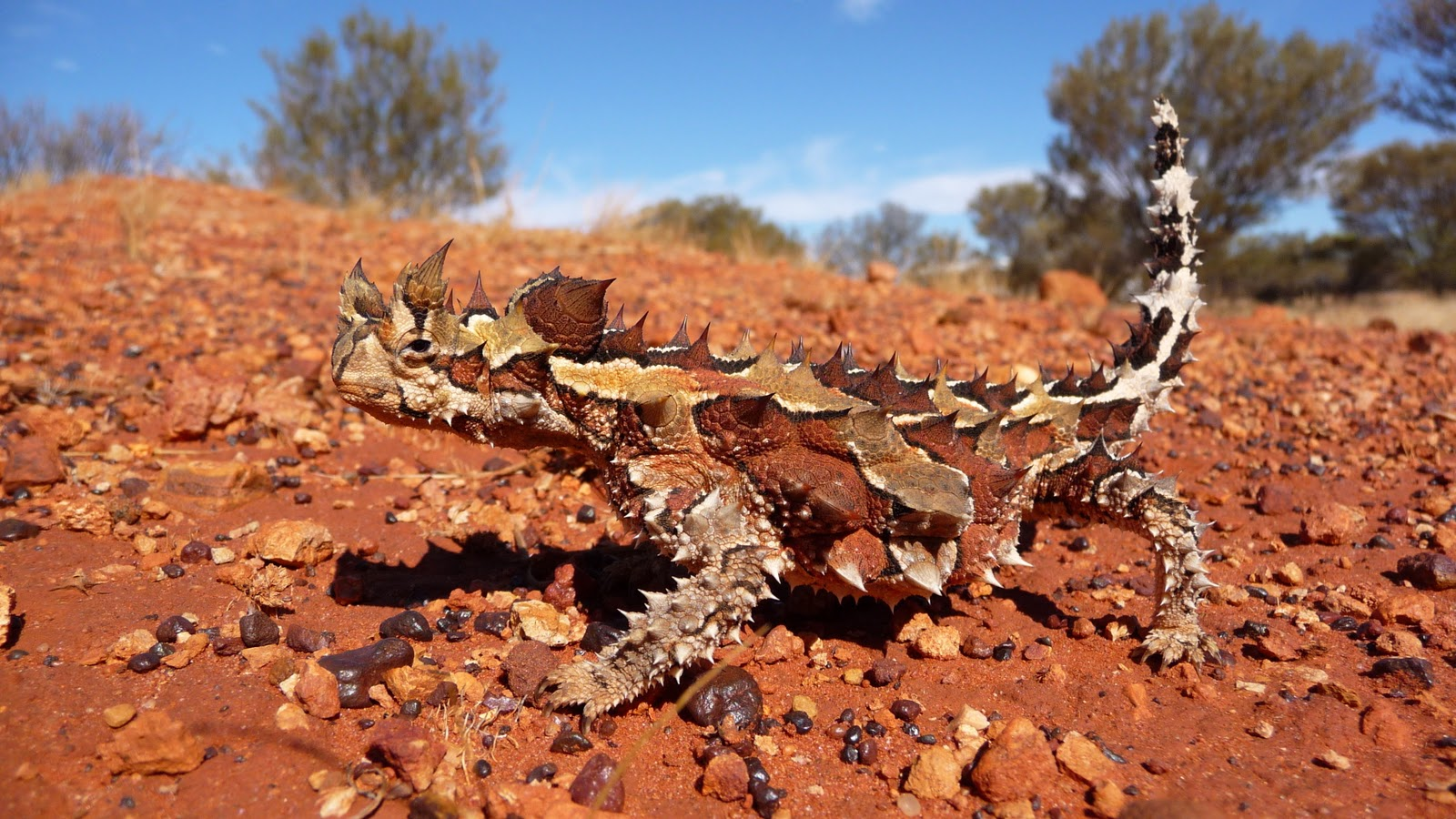 Thorny devil By Christopher Watson (httpwww.comebirdwatching.blogspot.com) [CC BY-SA 3.0 (httpcreativecommons.orglicensesby-sa3.0)], via Wikimedia Commons