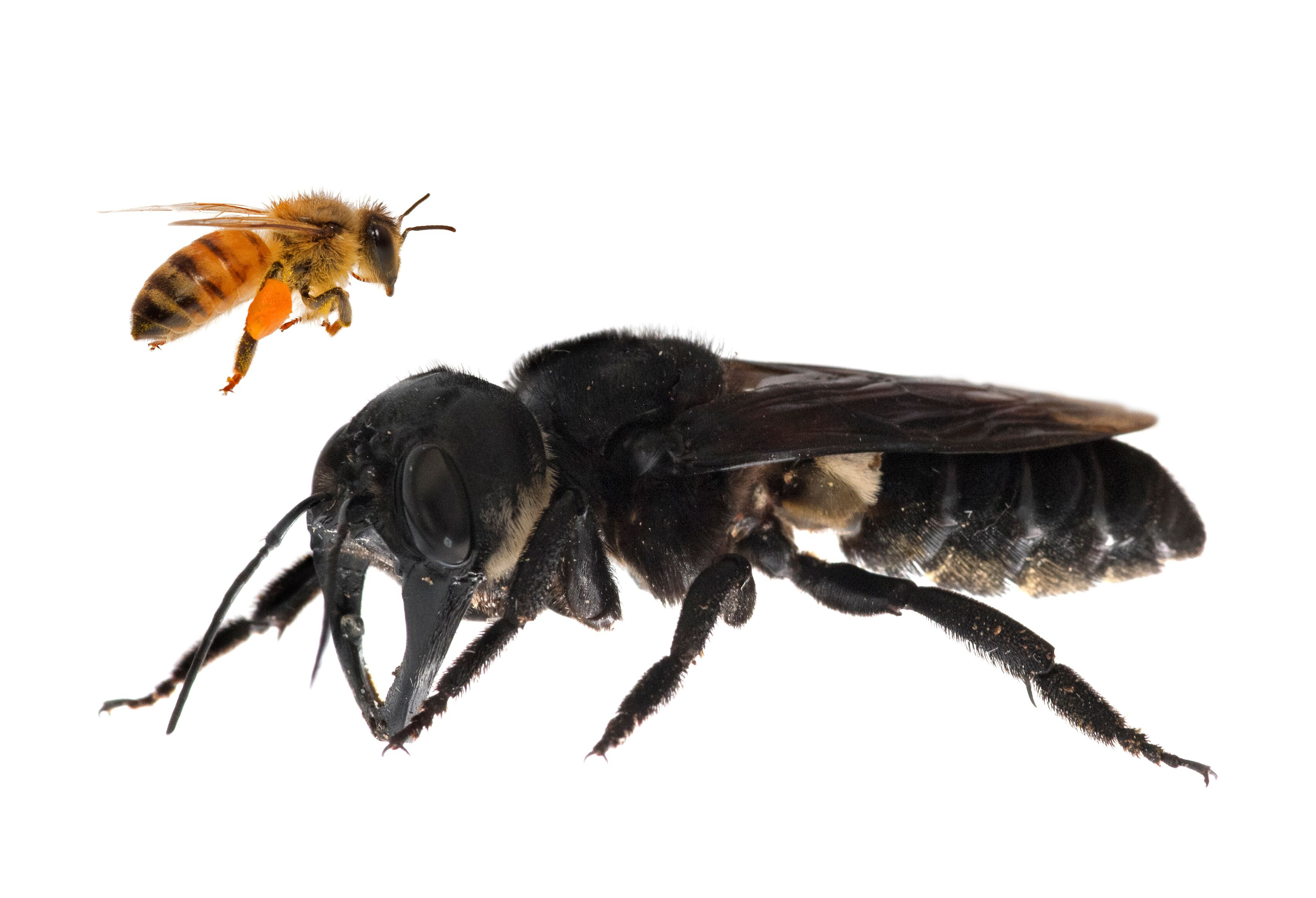 Image (composite): Wallace's giant bee dwarfs the common honey bee in size.  Image: © Clay Bolt | claybolt.com