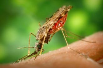 As global temperatures warm, it's likely certain mosquito species will be able to spread across greater areas, including those that carry the parasite that causes malaria. However, what little we know about the effect of temperature on the malaria parasite is based on experiments from nearly a century ago. In a new set of experiments, researchers found the current models greatly underestimate the rates of parasite development under cool conditions, suggesting even small rises in temperature could lead to greater risk of malaria transmission than previously thought.