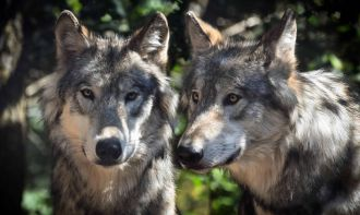Chinese and US scientists have found that one of the ancestors of modern wolves -Canis chihliensis - cared for injured pack members, in the form of 1.3m-year-old remains that show one animal with severe injuries to its jaw and leg survived long enough for the wounds to heal. This suggests other pack members shared food and cared for their wounded packmate, the researchers say, as the injured wolf would have been unable to hunt. The remains were unearthed in the north of China, and the wolves would have lived during an ice age, they add.