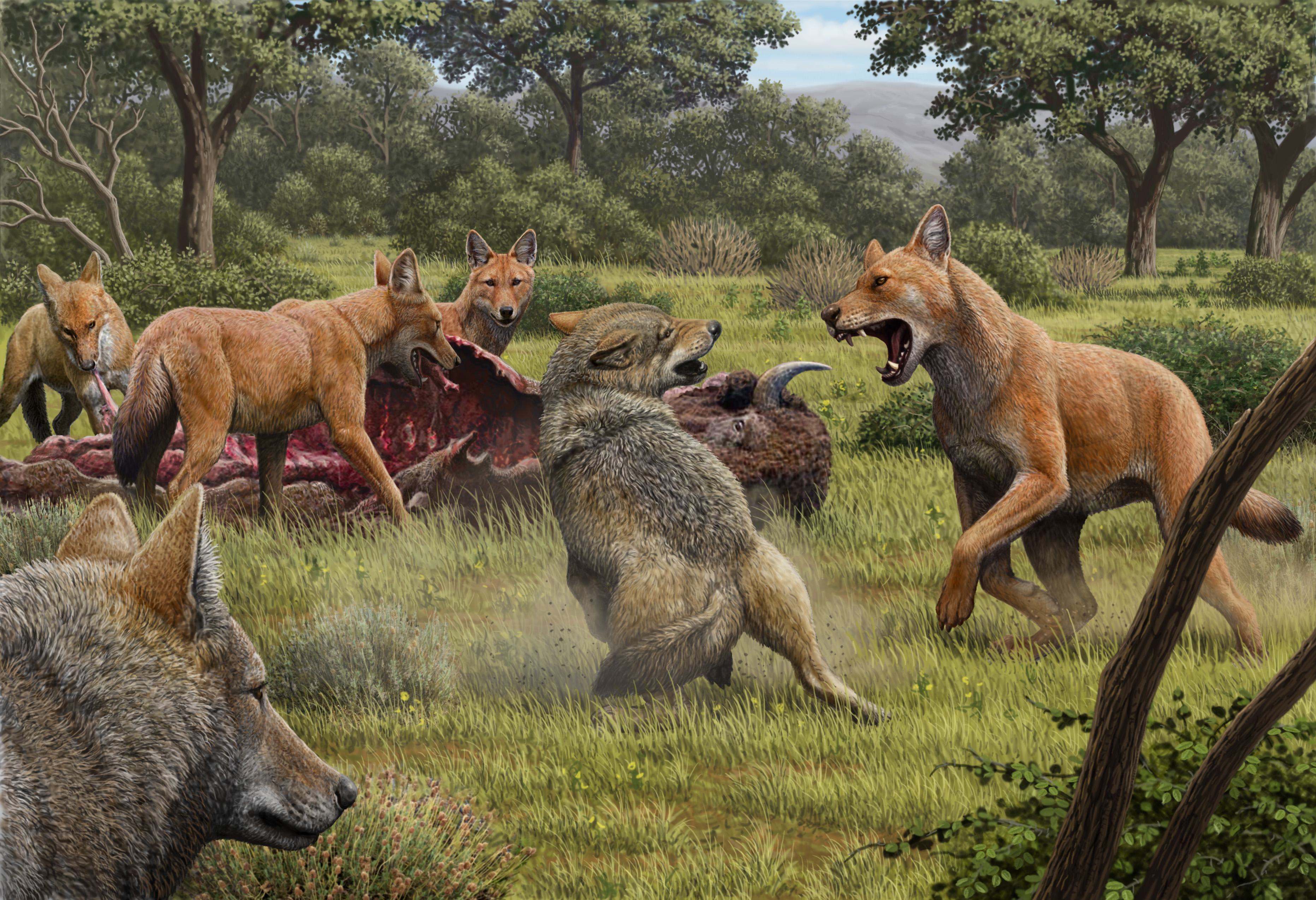 Mauricio Antón/Nature. Somewhere in Southwestern North America during the late Pleistocene, a pack of dire wolves (Canis dirus) are feeding on their bison kill, while a pair of grey wolves (Canis lupus) approach in the hopes of scavenging. One of the dire wolves rushes in to confront the grey wolves, and their confrontation allows a comparison of the bigger, larger-headed and reddish-brown dire wolf with its smaller, grey relative.