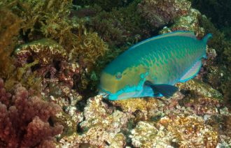 Parrotfish are sometimes described as ecosystem engineers