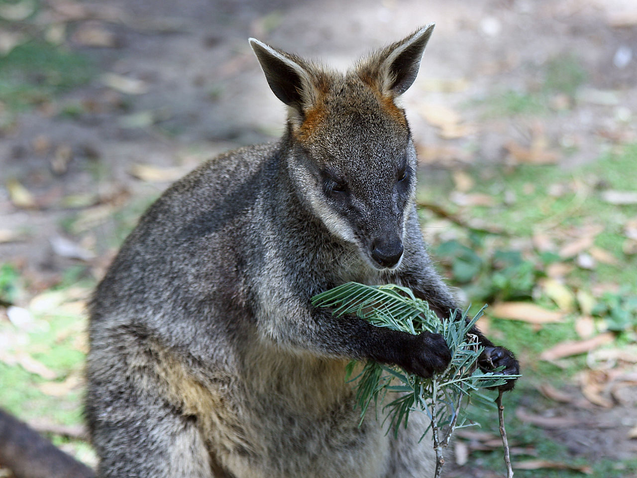 To Find A Tasty Snack Swamp Wallabies Follow Their Noses Scimex