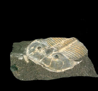 The internal structure of a 429-million-year-old fossilized trilobite eye is almost identical to that of modern bees, according to international researchers who say this means the principles of vision in many insects and crustaceans today are at least half a billion years old. Researchers re-exambined a trilobite fossil which was discovered in 1846 and their findings suggest the creature had mosaic vision, with each visual unit contributing a small portion of the overall image, similar to compound eyes of modern insects and crustaceans. The structure suggests they lived in bright, shallow waters and was probably active during the day.