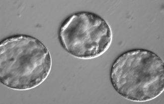 Embryos developing into blastocytes