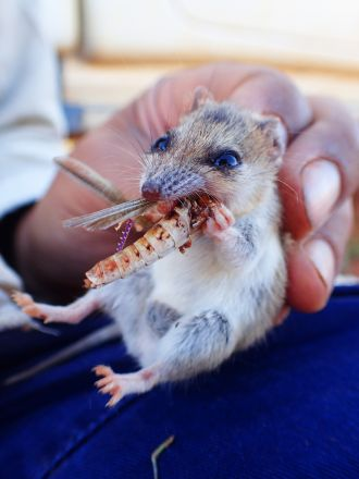 Lesser hairy-footed dunnart eating a grasshopper