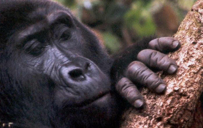 Mountain_gorilla_finger_detail.By Kurt Ackermann CC BY 2.5, from Wikimedia Commons