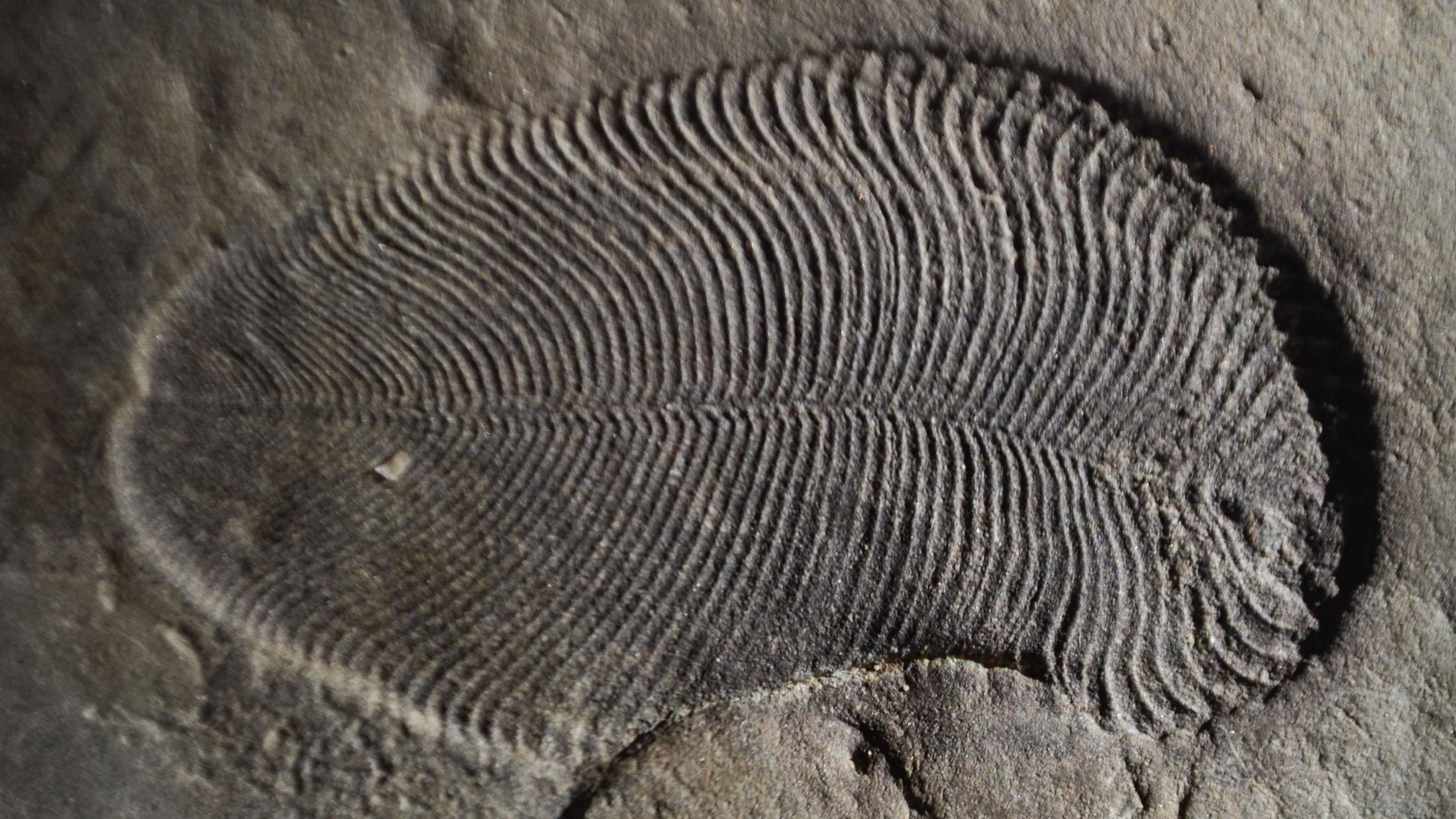 ANU / Dickinsonia fossil