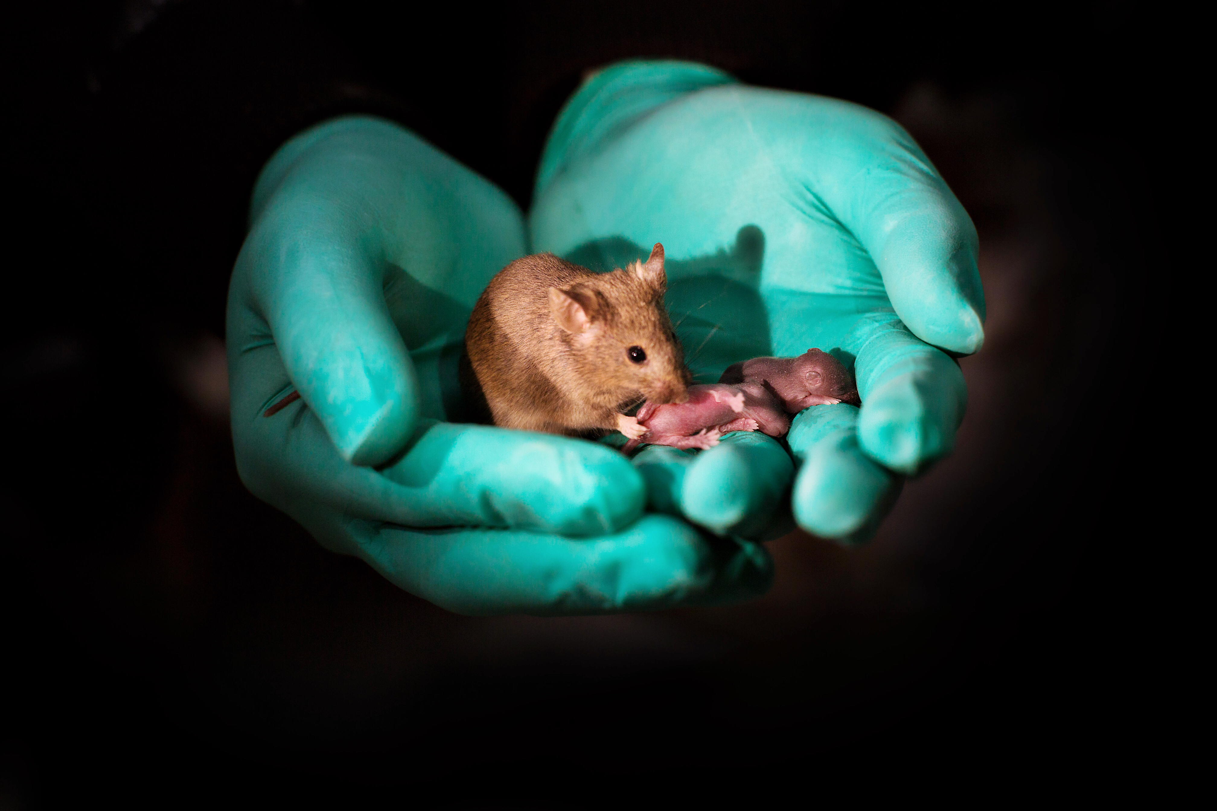 This image shows a healthy adult bimaternal mouse (born to two mothers) with offspring of her own 1 CREDIT Leyun Wang