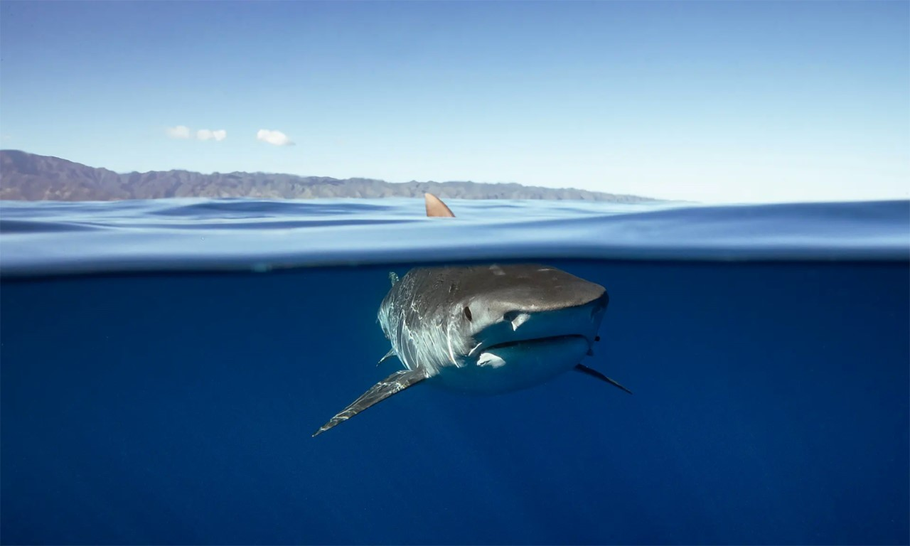 Decline in tiger shark population defies expectations - Scimex