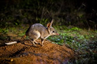 A nocturnal marsupial has been reintroduced into a feral-free area created by a UNSW-led project.