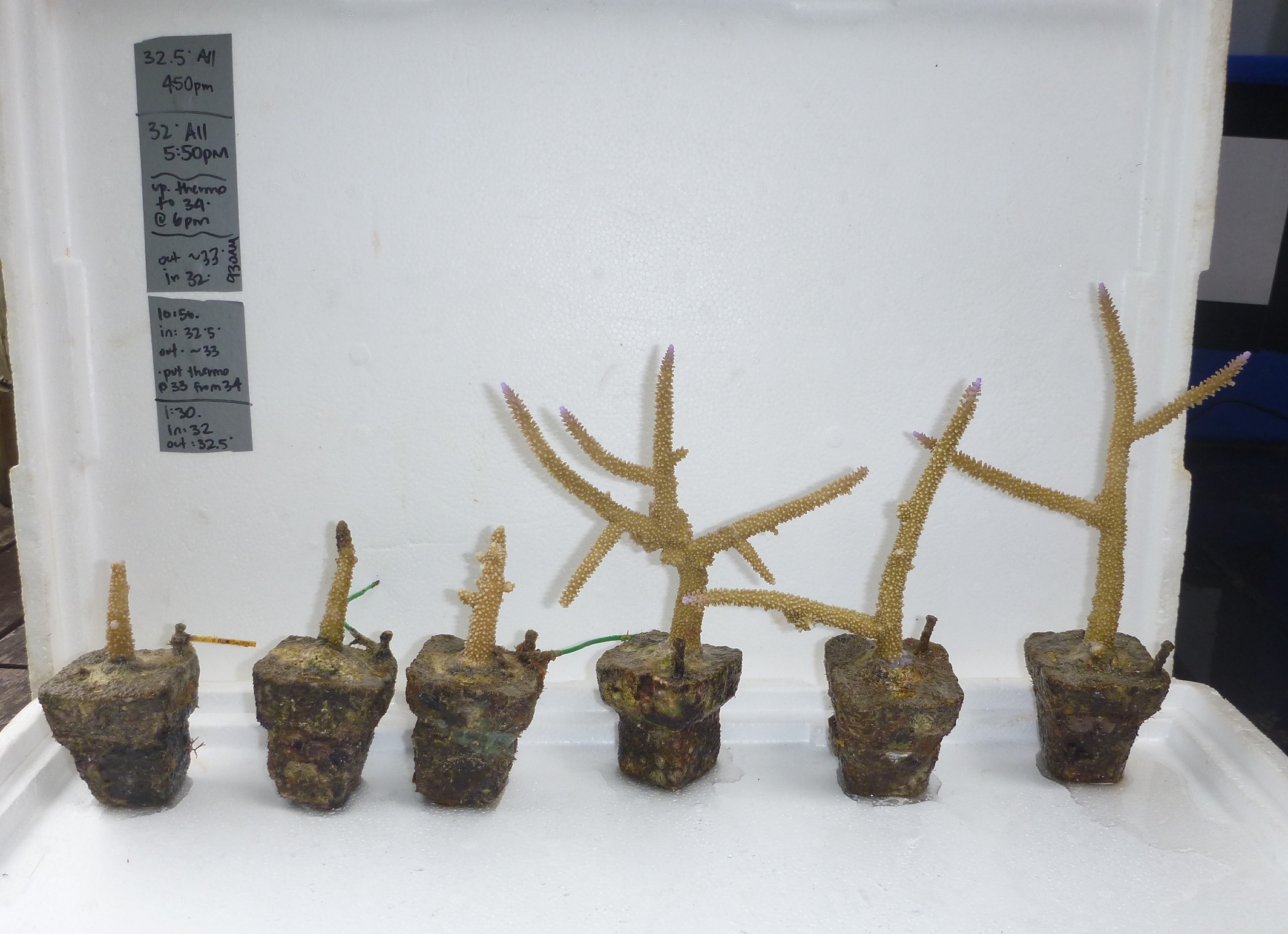 Comparison of staghorn corals grown for one year without the influence of seabird guano (three corals on left) with corals grown near a seabird colony (three corals on right). Credit: Dr Candida Savage