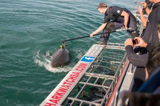 Attaching a camera to a white shark