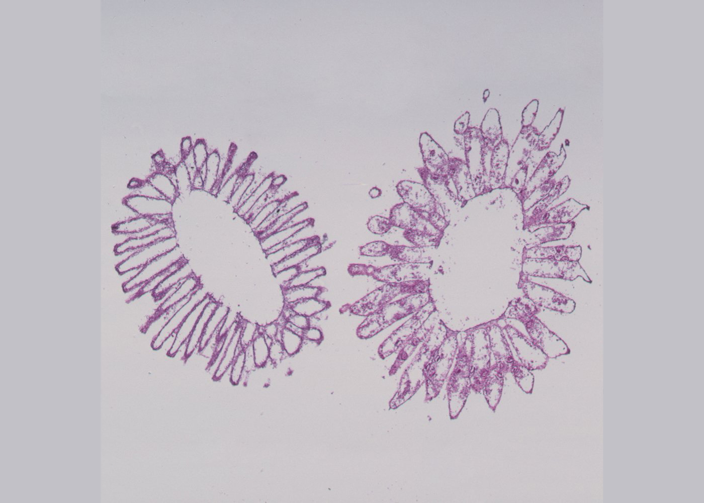 Choanocyte cell structures