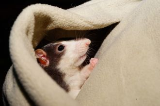 Researchers studying playful behaviour in animals have taught rats to play hide and seek, and the rodents are pretty good at it. The US researchers spent weeks teaching the rats how to play the game - both the hiding and seeking parts - and rewarded them with tickles and pats when they got it right. Though it sounds like frivolous fun, the researchers say it's typically hard to study this kind of playful behaviour in animals, but their study found the rats became more strategic in the game over time: staying silent when hiding, changing their hiding locations and checking out past hiding places when seeking.
