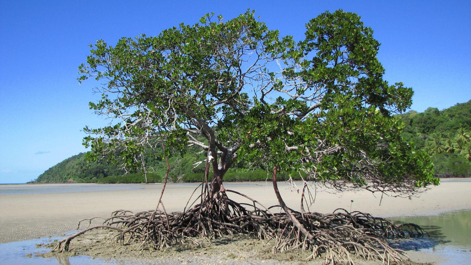 Mangrove_-_Cooktown,_Queensland,_Australia-By-Rob-and-Stephanie-Levy-from-Townsville,-Australia-My-favourite-mangrove,-CC-BY-2.0.jpg