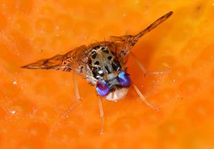 Mediterranean fruit fly, credit Oxitec