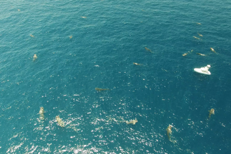 Whale sharks from drone in Isla Mujeres, Mexico