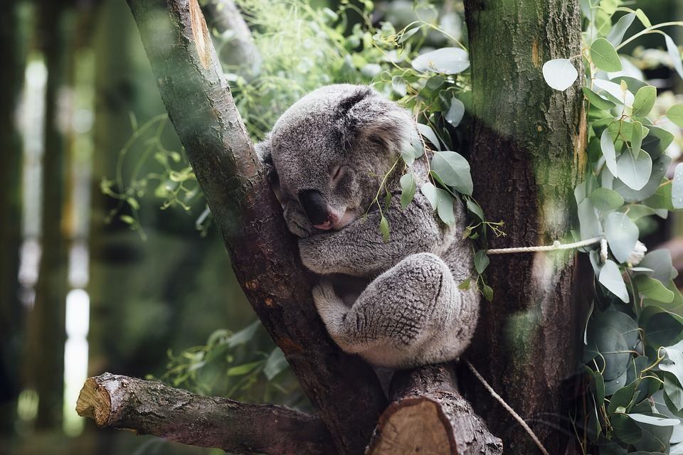The koala genome was recently mapped by Australian scientists. Credit: Pixabay