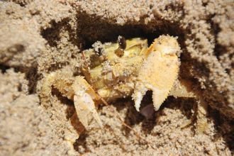 One of our most common beach crabs eats just like a picky two-year-old, according to new research from Edith Cowan University.