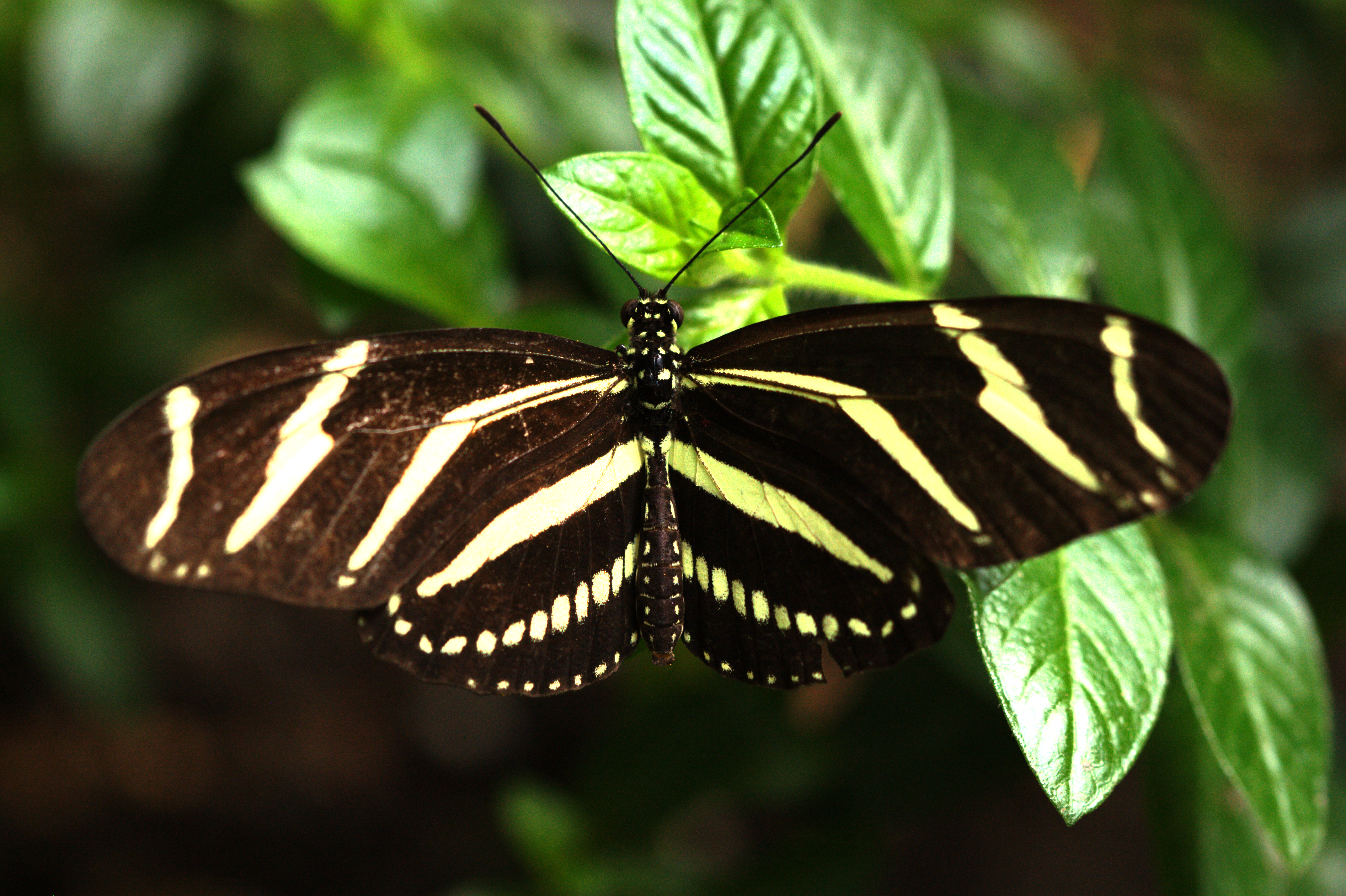 Zebra_Longwing_(Heliconius_charithonia) butterfly by Rmrfstar CC BY-SA 3.0