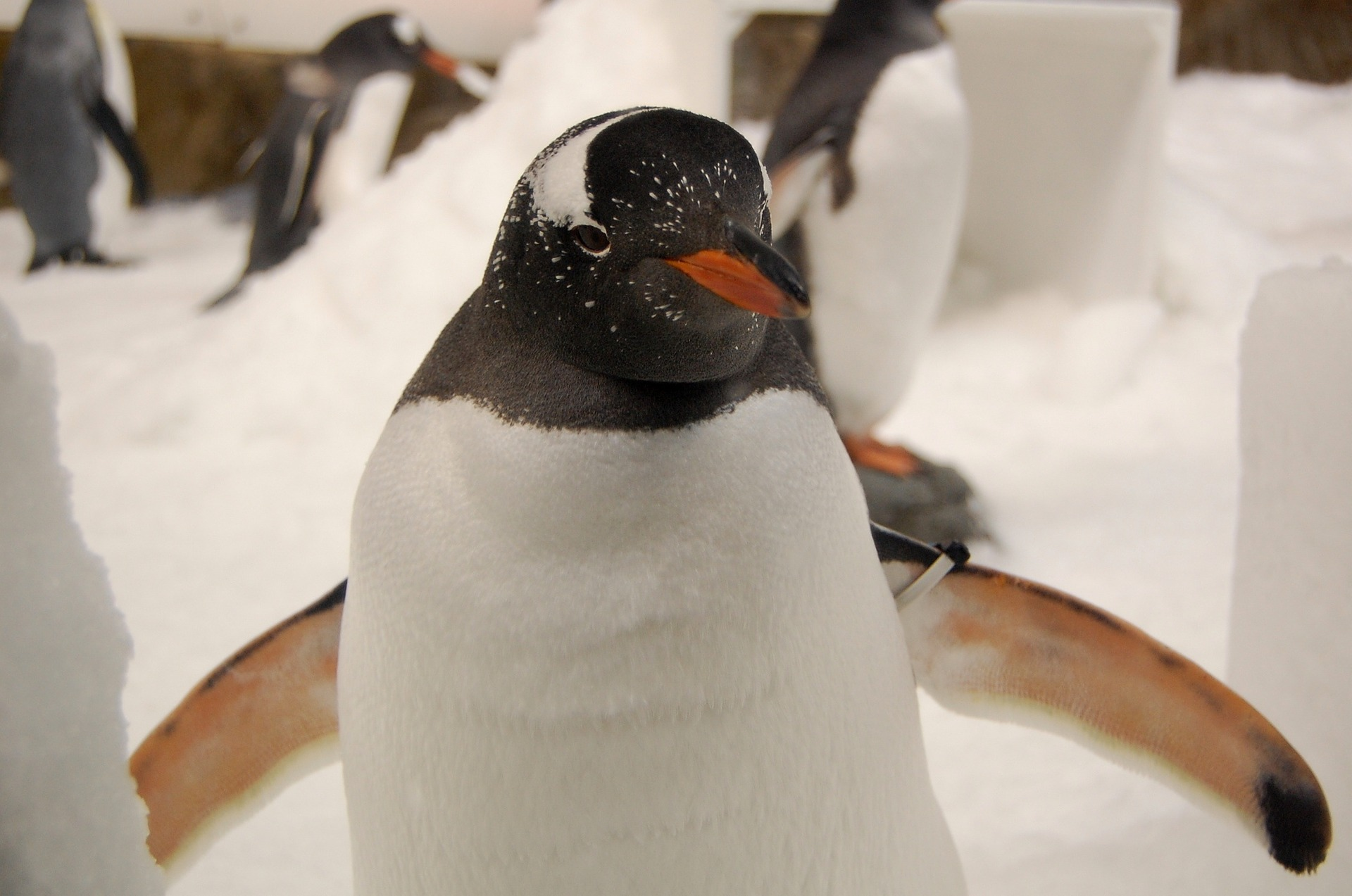 Gentoo penguin. Image by LoneWombatMedia from Pixabay